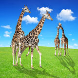 Giraffes love Royalty Free Stock Photos