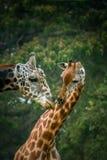 Giraffes in love Stock Photo