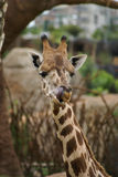 Giraffes. Manners, behavior, communication Royalty Free Stock Photos