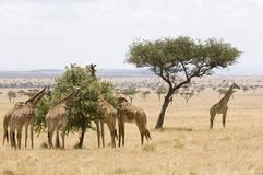 Giraffes in Masai Mara. A group of giraffes feeding on an Acacia tree while another stands lookout Stock Photos