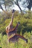 Giraffes in Masai Mara Royalty Free Stock Images