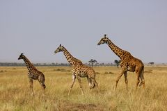 Giraffes in Masai Mara Royalty Free Stock Image