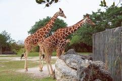 Giraffes in the Miami Metro Zoo. Miami, United States Royalty Free Stock Photo