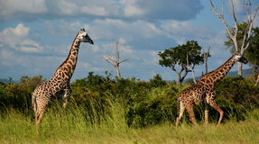 Giraffes. Mikumi National Park, Tanzania. The Mikumi National Park is a national park in Mikumi, near Morogoro, Tanzania. The Mikumi is bordered to the south Royalty Free Stock Photography