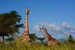 Giraffes. Mikumi National Park, Tanzania Royalty Free Stock Photo