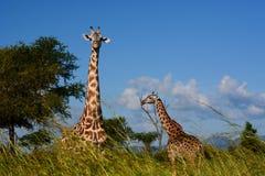 Giraffes. Mikumi National Park, Tanzania. The Mikumi National Park is a national park in Mikumi, near Morogoro, Tanzania. The Mikumi is bordered to the south Royalty Free Stock Photo