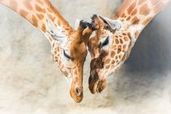 Giraffes, mother and baby stock image