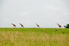 Giraffes, Murchinson Falls National Park (Uganda) Stock Photo