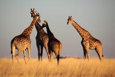 Giraffes na luz macia da tarde-tarde, Namíbia imagens de stock royalty free