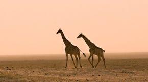 Giraffes na poeira Fotos de Stock Royalty Free