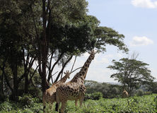 Giraffes na reserva de Nairobi fotos de stock