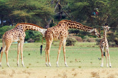 Giraffes in Naivasha park Stock Images