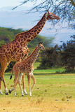 Giraffes in Naivasha park Royalty Free Stock Photography