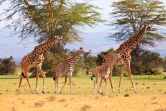 Giraffes in Naivasha park Stock Images