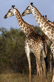 Giraffes - Namibia Stock Images