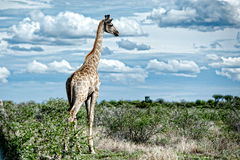 Giraffes, Namibia, Africa Stock Images