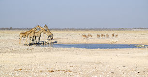 Giraffes in Namibia. Sunny savannah scenery including a group of giraffes and some gazelles at a waterhole in Namibia, Africa stock photo