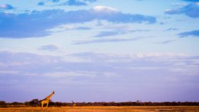 Giraffes on Namibian savannah at sunset. Two giraffes on Namibian savannah at sunset royalty free stock photo