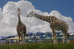 Giraffes. Are native to Africa and are the tallest mammals, some reaching twenty feet tall Stock Images