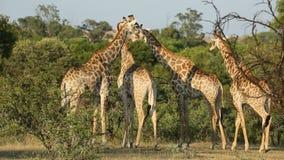 Giraffes in natural habitat stock footage