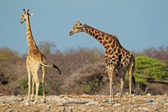 Giraffes in natural habitat Royalty Free Stock Images
