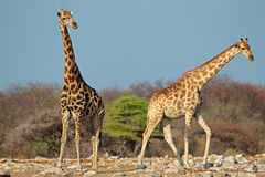Giraffes in natural habitat Stock Images