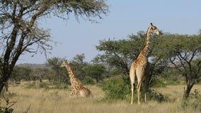 Giraffes in natural habitat. Giraffes Giraffa camelopardalis in natural habitat, Mokala National Park, South Africa stock footage