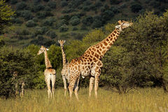 Giraffes in natural habitat stock image