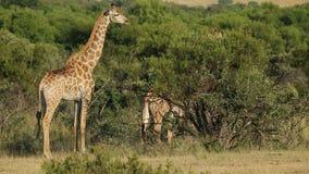 Giraffes in natural habitat stock video