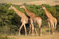 Giraffes in natural habitat Royalty Free Stock Images
