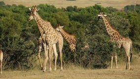 Giraffes in natural habitat stock video footage