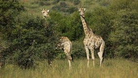 Giraffes in natural habitat. Two giraffes (Giraffa camelopardalis) in natural habitat, South African stock video