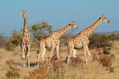 Giraffes in natural habitat Stock Images