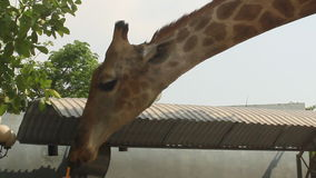 Giraffes in the nature stock video