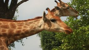 Giraffes in the nature stock video footage