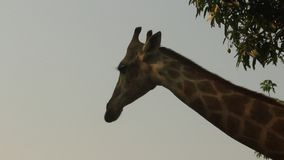 Giraffes in the nature stock footage