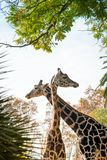 Giraffes in nature Stock Image