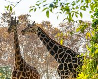 Giraffes in nature Royalty Free Stock Photography