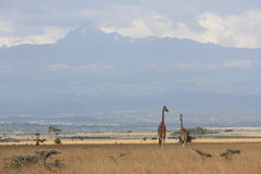 Giraffes near Mt Kenya Royalty Free Stock Photography