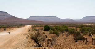 Giraffes next to a Namibian gravel road stock images