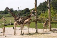 Giraffes no jardim zoológico Fotografia de Stock Royalty Free