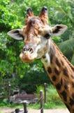Giraffes no jardim zoológico Fotografia de Stock