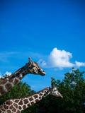 Giraffes no jardim zoológico Imagem de Stock Royalty Free