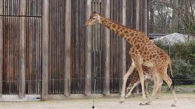 Giraffes no jardim zoológico video estoque