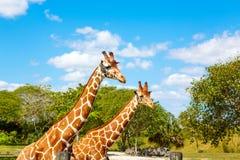 Giraffes no parque do safari do jardim zoológico Animais bonitos dos animais selvagens Imagens de Stock