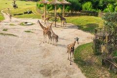 Giraffes no parque do safari do jardim zoológico Animais bonitos dos animais selvagens no dia morno ensolarado Fotos de Stock Royalty Free
