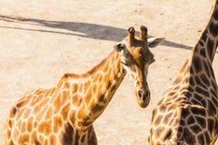 Giraffes no parque do safari do jardim zoológico Animais bonitos dos animais selvagens no dia morno ensolarado Imagem de Stock