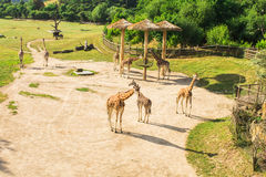 Giraffes no parque do safari do jardim zoológico Animais bonitos dos animais selvagens no dia morno ensolarado Imagens de Stock