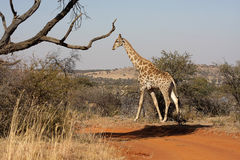 Giraffes in Northwest, South Africa. Faan Meintjies Gamereserve. The South African giraffe or Cape giraffe (Giraffa camelopardalis giraffa) is a subspecies of stock photos