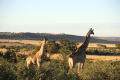 Giraffes in Northwest, South Africa. Landscape photo of giraffes. Blue sky. The South African giraffe or Cape giraffe (Giraffa camelopardalis giraffa) is a Royalty Free Stock Photography
